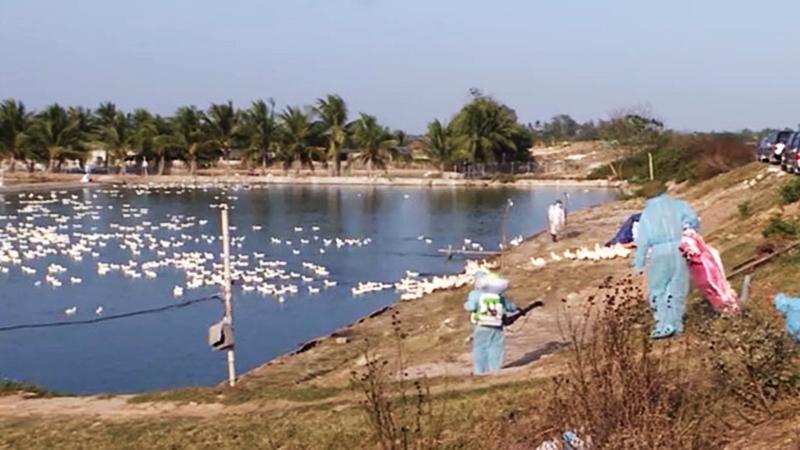 Ổ dịch cúm A/H5N6 xuất hiện ở xã Tân Trào, huyện Kiếm Thụy, thành phố Hải Phòng. (Ảnh qua thanhnien)