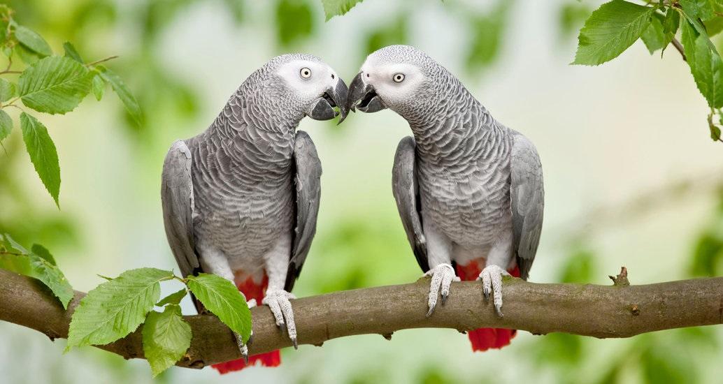 Vẹt xám châu Phi (Psittacus erithacus) không chỉ sở hữu một trí thông minh tuyệt vời mà còn là loài chim có lòng vị tha.