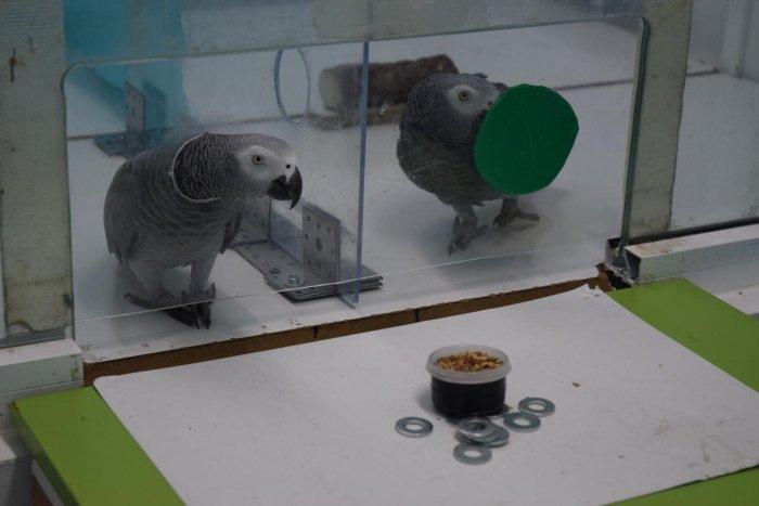 những con vẹt được đặt vào một chiếc chuồng bằng kính