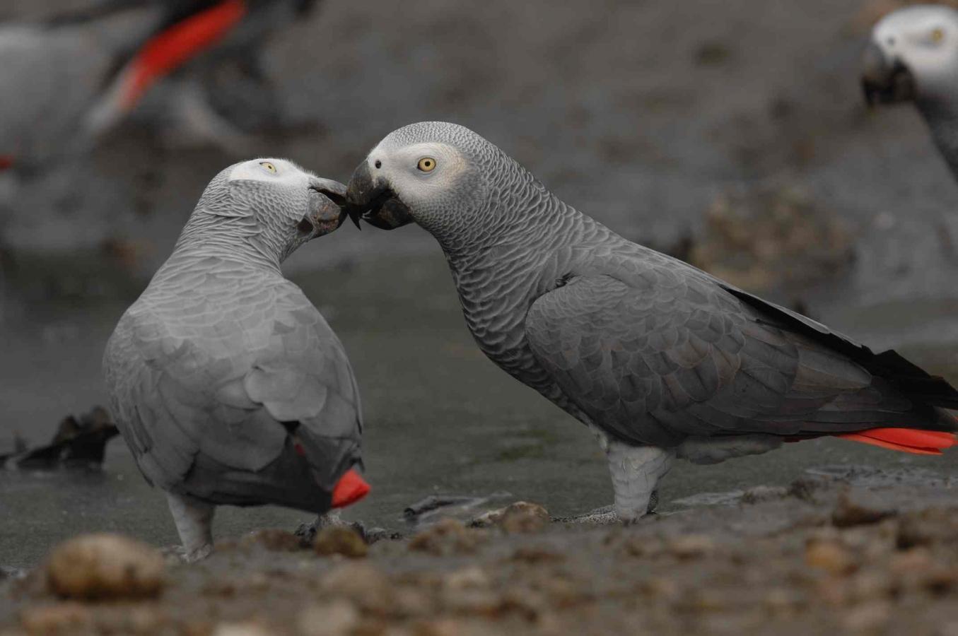 Vẹt xám Châu Phi gắn bó với một người bạn đời duy nhất trong suốt cả quảng đời của chúng.