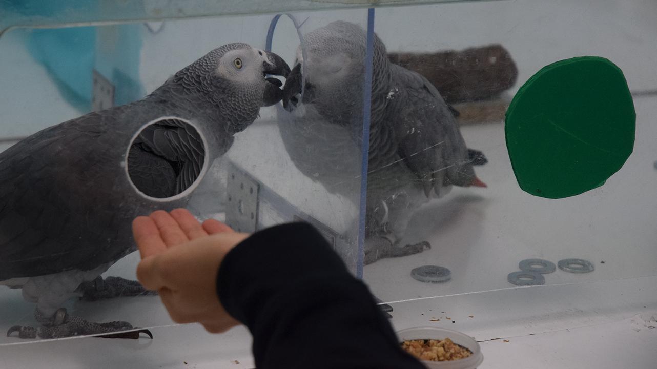 Loài vẹt xám châu Phi không biểu lộ sự tức giận hay đố kị nếu một trong những đồng loại của chúng được đối xử và nhận được thứ gì đó có lợi