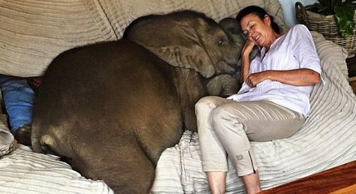 Chú voi rất thích quấn quýt bên cạnh chủ nhân của nó.