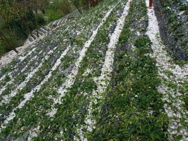 Các tỉnh phía Bắc 351 nhà bị sập, hơn 1.300ha cây trồng bị thiệt hại nặng nề do mưa đá 3