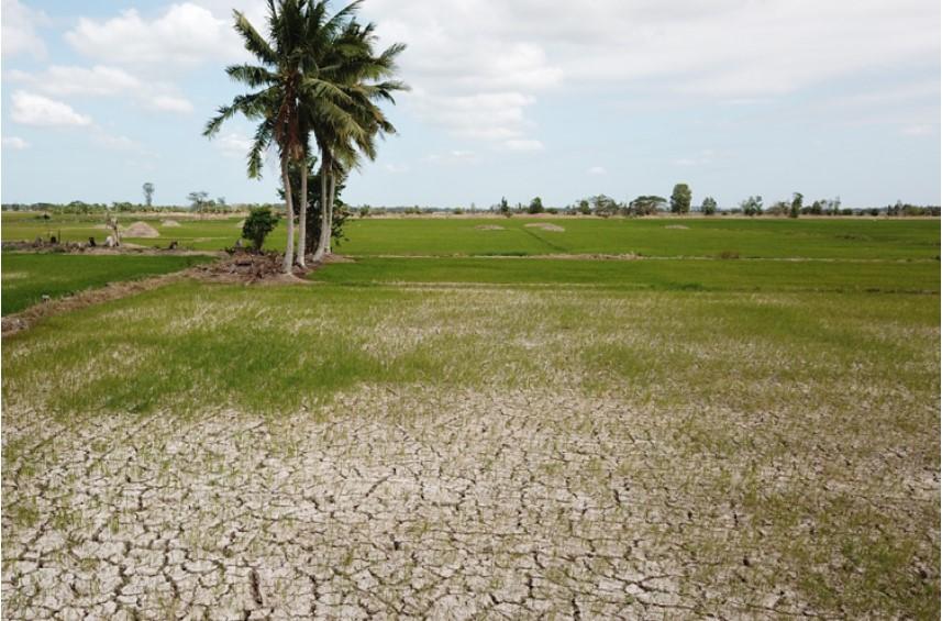 Đồng lúa ở Sóc Trăng nứt nẻ sau 45 ngày không có nước. (Ảnh qua tuoitre)