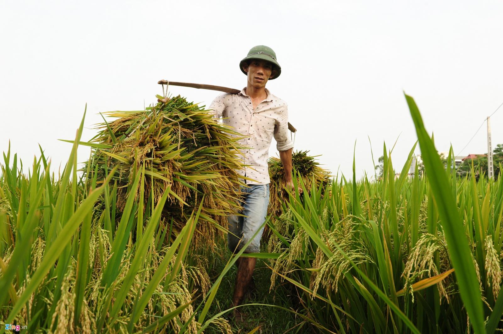 Một doanh nghiệp ở ĐBSCL nhận định rằng nên xuất khẩu vì Việt Nam đang thừa gạo. (Ảnh qua Zing)