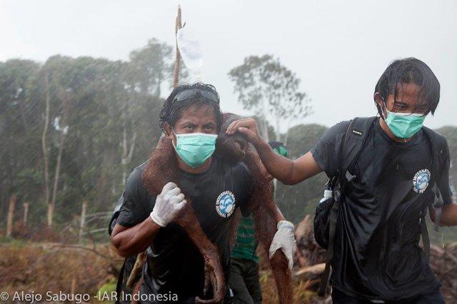 Các thành viên của đội cứu hộ Indonesia của IAR đưa một con đười ươi khác đến nơi an toàn |