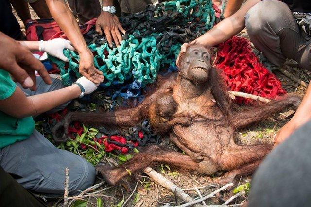 Một con đười ươi mẹ gầy gò và con của nó được giải cứu trở lại vào năm 2015 sau khi nông dân báo cáo đã đốt rừng để dọn đất
