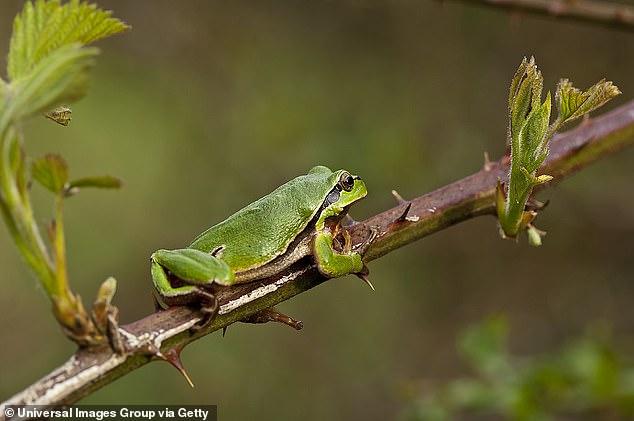 Ảnh minh họa ếch xanh trong tự nhiên.