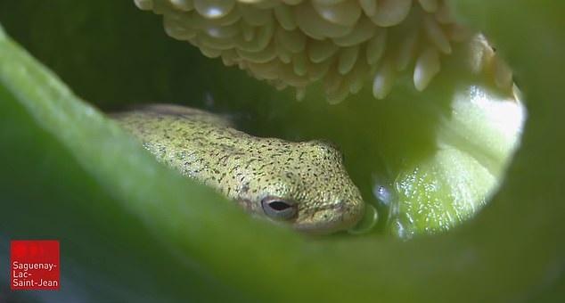 Một con ếch xanh sống trong quả ớt chuông.