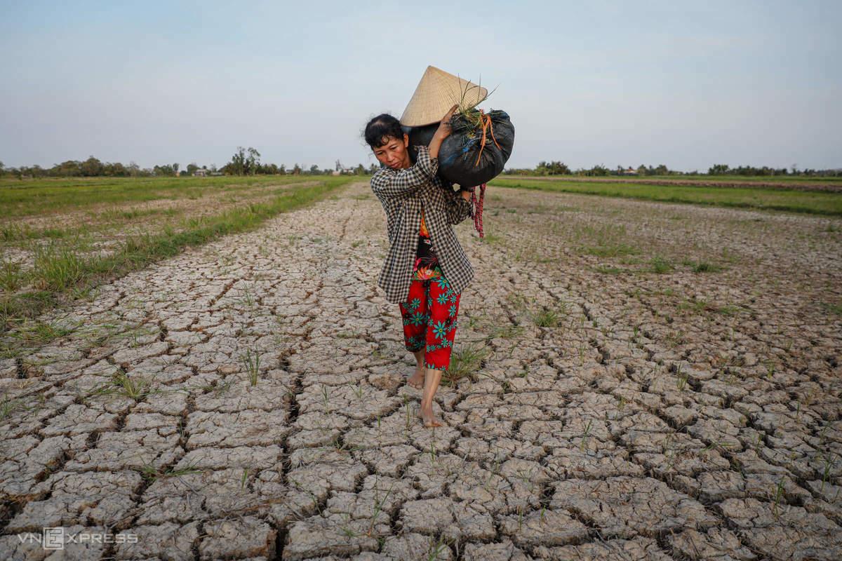 Bà Nguyễn Thị Kim Trang (48 tuổi, Bến Tre) trên cánh đồng bị hạn mặn tấn công. (Ảnh qua vnexpress)