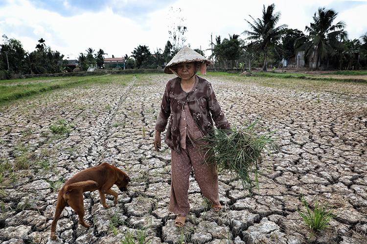Một người dân miền Tây nhổ cỏ cho bò ăn trên cánh đồng khô nứt nẻ của gia đình mình.