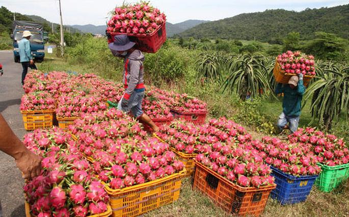 Thanh Long, một trong những mặt hàng được xuất khẩu chủ yếu sang thị trường Trung Quốc. (Ảnh qua vietnambiz)