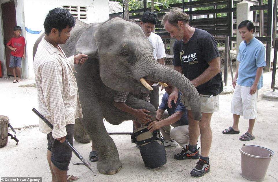 Lần đầu tiên được đeo chân giả, voi con thích thú chạy quanh chuồng