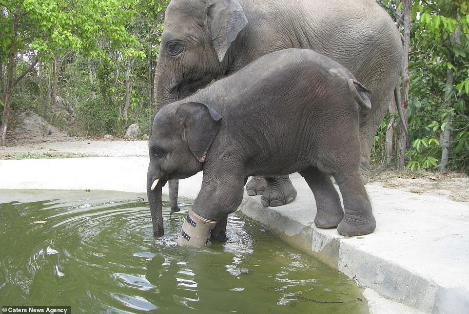 Nó đang dạo chơi với một con voi khác có tên là Lucky.