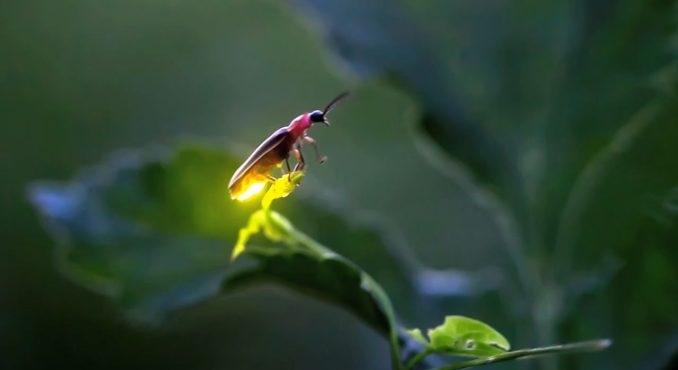 Ánh sáng của loài đom đóm đang ngày một lụi tàn, và nguyên nhân đến từ con người chúng ta