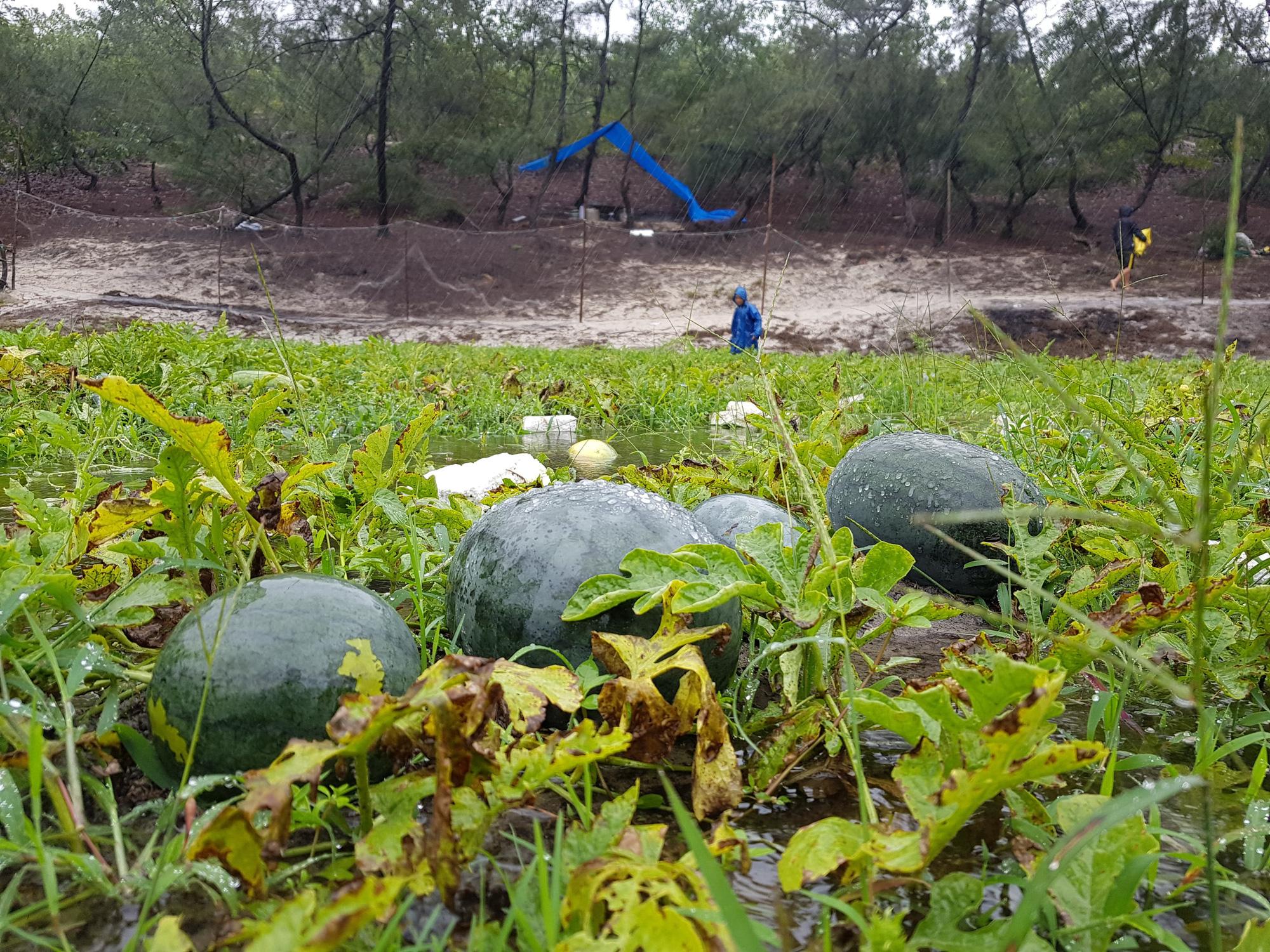 Khoảng 6 ha trồng dưa hấu chuẩn bị thu hoạch ở xã Hải Dương (thị xã Hương Trà) bị ngập úng sau ba ngày mưa liên tục.