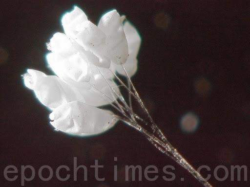 Ưu Đàm Bà La hoa tinh khiết dưới kính hiển vi phóng đại 400 lần - ảnh 1