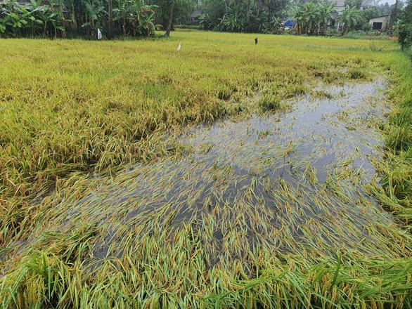 Hơn 16 nghìn héc ta lúa vụ Đông Xuân năm nay ở TT Huế bị ngã đổ hư hỏng. (Ảnh qua tuoitre)