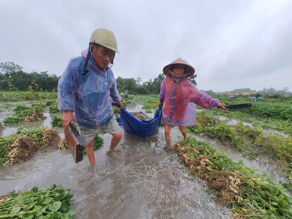 Nông dân ở thị xã Hương Thủy nhổ đậu phộng (lạc) bị ngập trong nước do mưa lớn. (Ảnh qua tuoitre)