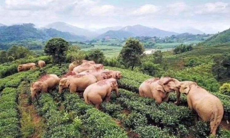 Bầy voi đang tụ tập tại cánh đồng chè.