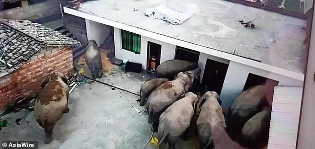 Bầy voi đang đột nhập vào nhà người dân.