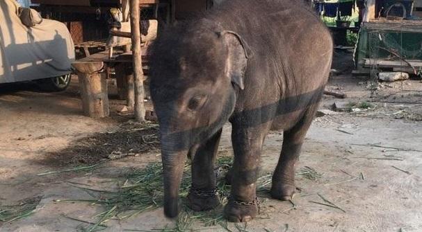Trông chú voi con rất buồn rầu và lắc lu liên tục.