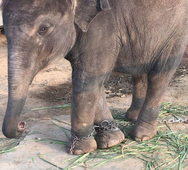 Chú voi Meena bị bắt đi xin tiền khách du lịch.