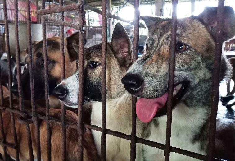 Liên minh bảo vệ chó châu Á kiến nghị Việt Nam ban hành lệnh cấm buôn bán, tiêu thụ thịt chó, mèo. (Ảnh qua phununet)