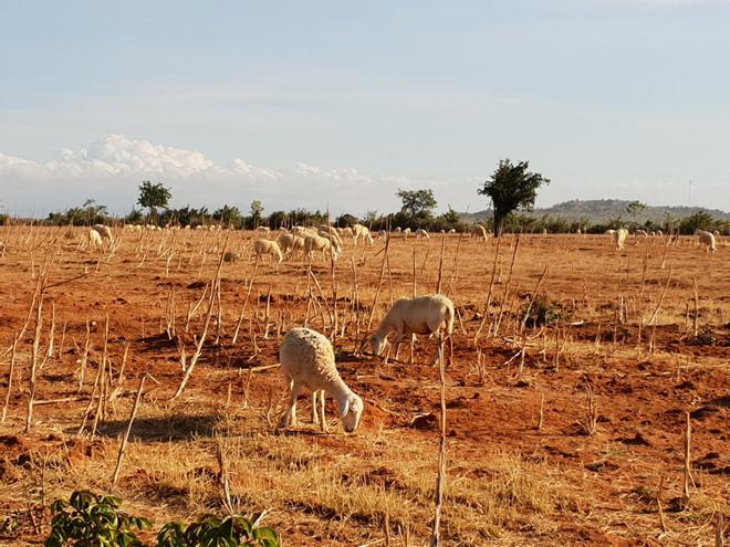 Nắng hạn kéo dài làm nhiều đồng cỏ chăn nuôi khô héo.