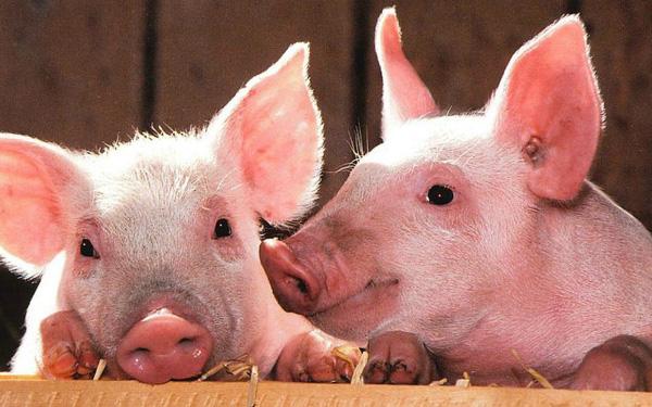 Dịch tả lợn bùng phát, nguy cơ lạm phát vì giá lợn cao - Ảnh 2
