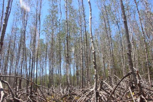 Rừng đước phòng hộ 15 năm tuổi ở thị xã Vĩnh Châu, tỉnh Sóc Trăng rụng lá, trơ cây. (Ảnh qua tuoitre)