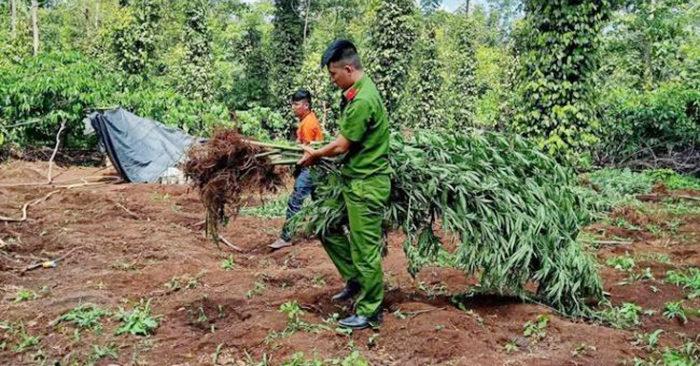 Công an nhổ bỏ, thu giữ số cây cần sa trong rẫy của ông Kiên.