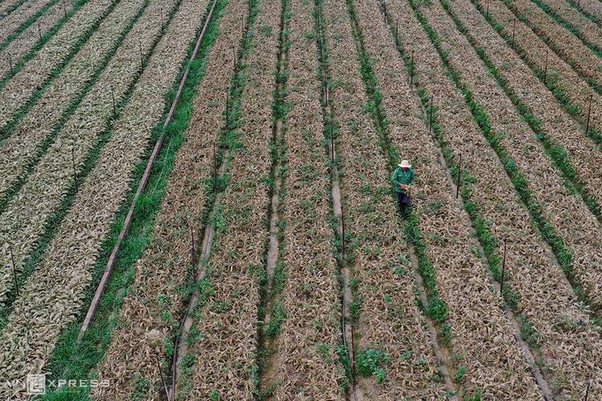 Cánh đồng củ cải bạc trắng vì sâu ở thôn Đông Cao, xã Tráng Việt, huyện Mê Linh. (Ảnh qua vnexpress)