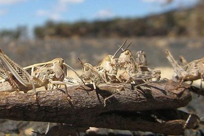 FAO nhận định sẽ có 1/5 diện tích đồng cỏ, hoa màu trên thế giới bị tàn phá vì con châu chấu sa mạc. (Ảnh qua vietnamnet)