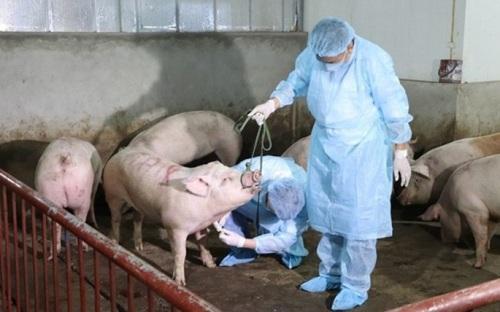 'Dịch tả lợn' tái bùng phát tại 20 tỉnh, thành, gần 4.000 con lợn bị tiêu hủy. (Ảnh qua vnexpress)