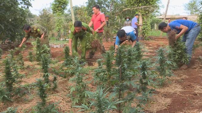 Lực lượng chức năng H.Krông Năng thu giữ số cây cần sa trồng trái phép. (Ảnh qua thanhnien)