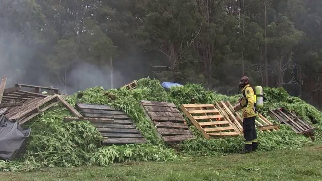 Úc: 14 sinh viên Việt phủ xanh đồi trọc bằng 13.000 cây… cần sa giá 40 triệu USD - Ảnh 2