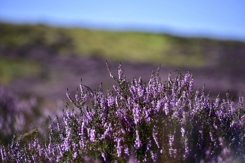 hoa thạch nam tại Scotland