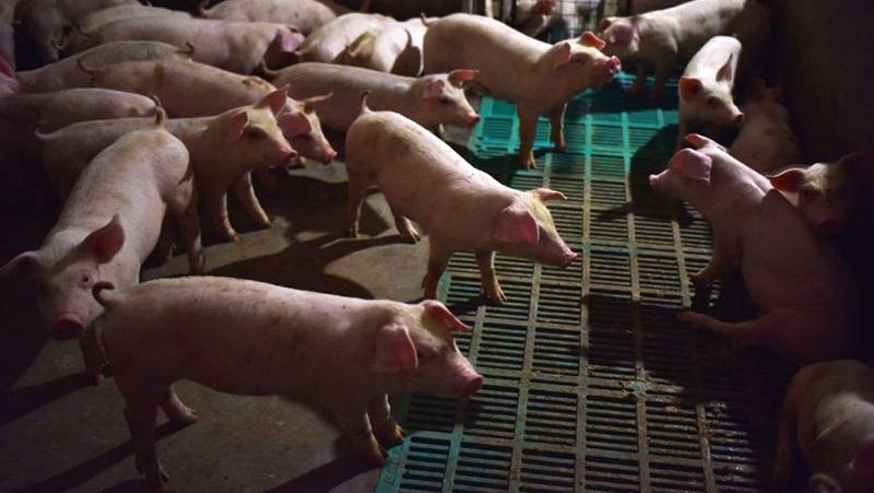 Virus mới xuất hiện trên lợn ở Trung Quốc có nguy cơ lây sang người (ảnh 1)